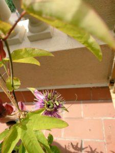 PassifloraDay