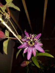 PassifloraNight